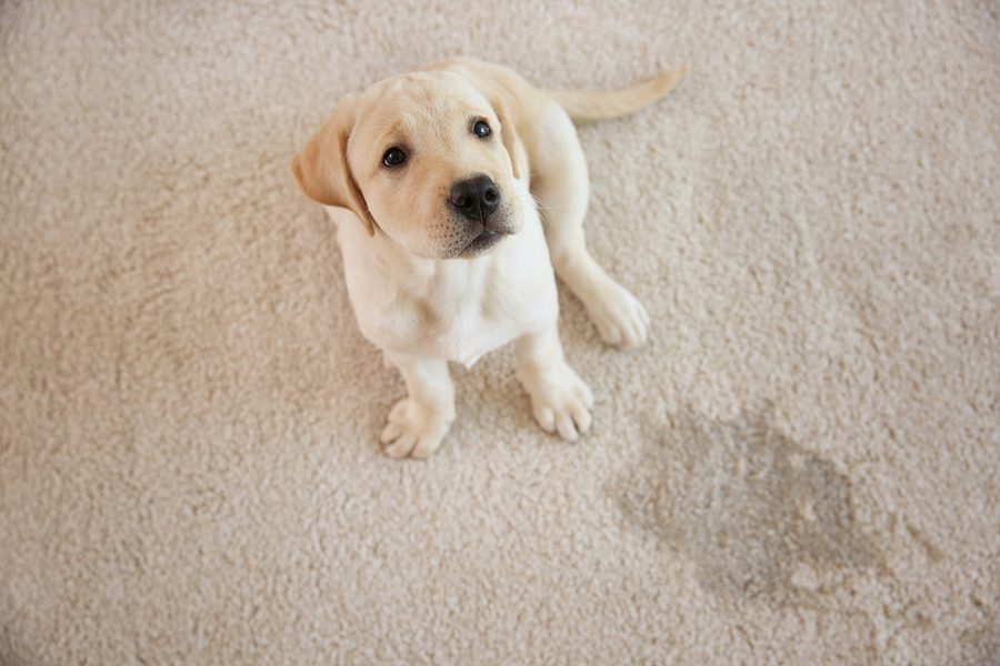 Hire a professional carpet cleaning crew to restore your carpets